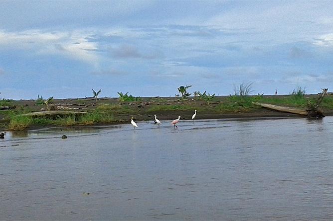 Lirio Lodge Rosalöffler Flamingos Pacuare Flussmündung