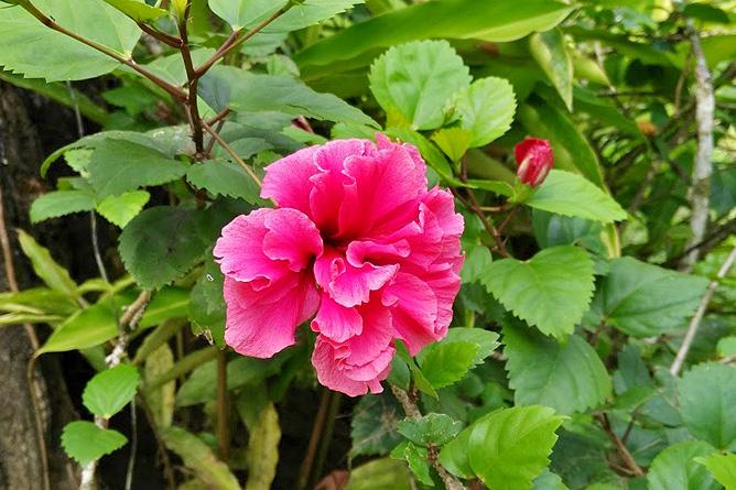 Lirio Lodge tropischer Garten, rosa Mohn