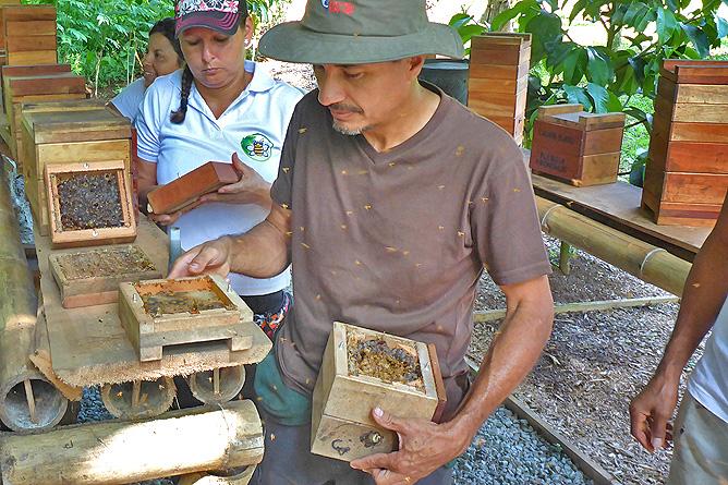 Macaw Lodge – Honiggewinnung, Meliponia-Bienen