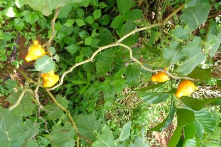 Macaw Lodge_Organische Finca_Solanum_Mammosum_Kuheuterpflanze