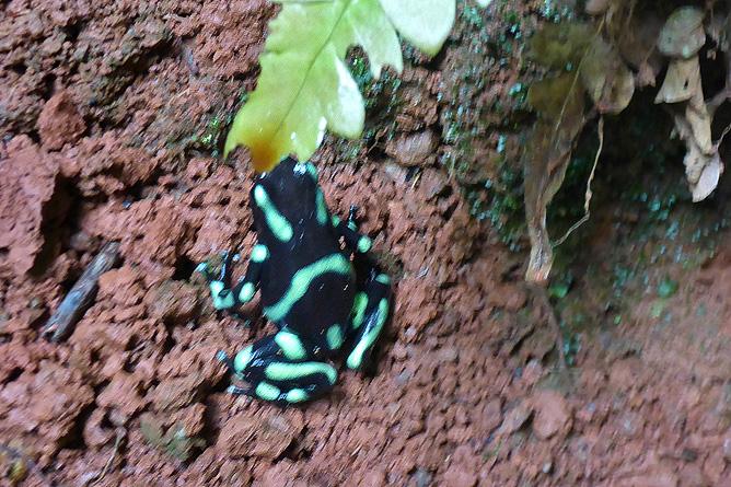 """Macaw Lodge – grün-schwarzer Pfeilgiftfrosch """"Dendrobates"""""""