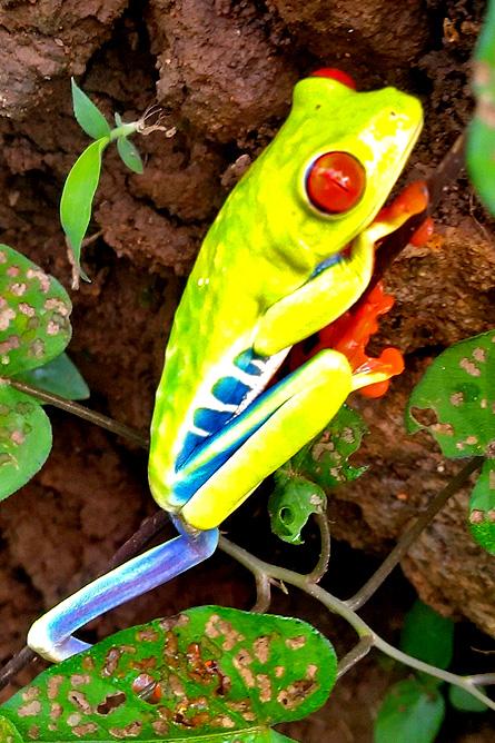 Tierra Madre Rotaugenfrosch