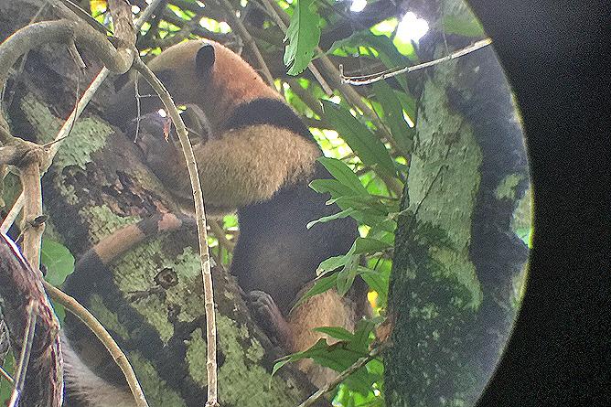Isla Violín – Ameisenbär