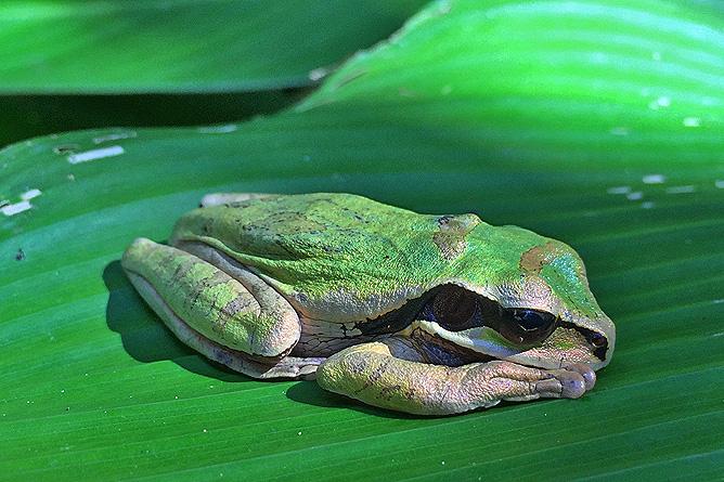 Isla Violín – Frosch