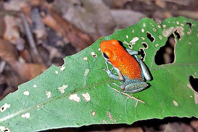 Isla Violín - Rotaugengiftfrosch