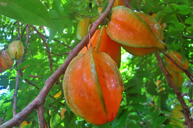 Isla Violín - Garten, Sternfrucht (Carambola)