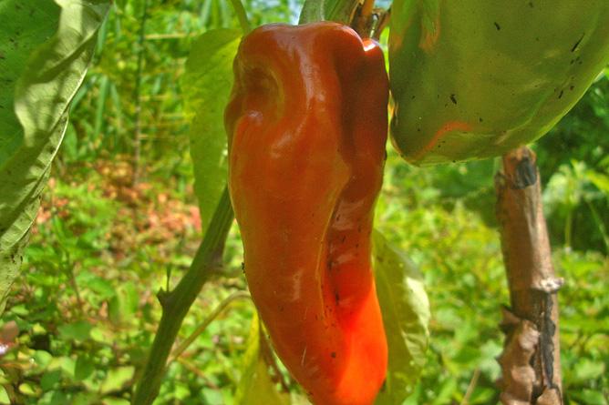 Isla Violín – Gemüsegarten