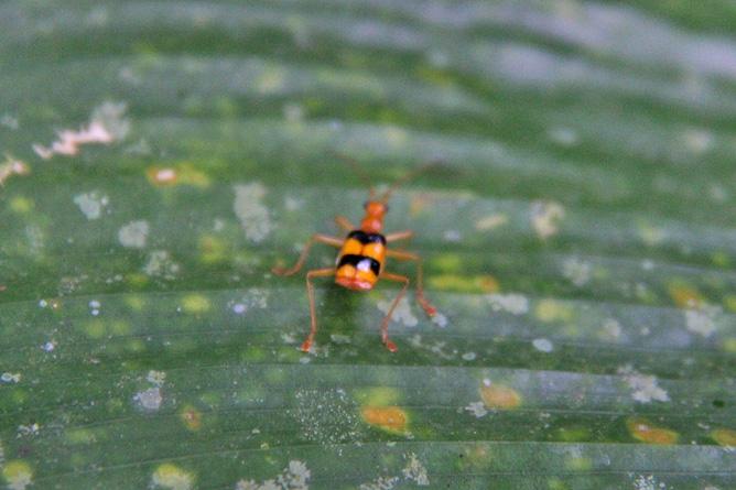 Isla Violín – Insekt
