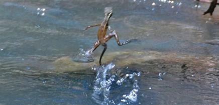 Isla-Violin_Jesus-Christus-Echse-läuft-über-das-Wasser