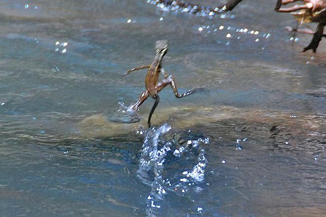 Isla Violín – Jesus Christus-Echse läuft über das Wasser