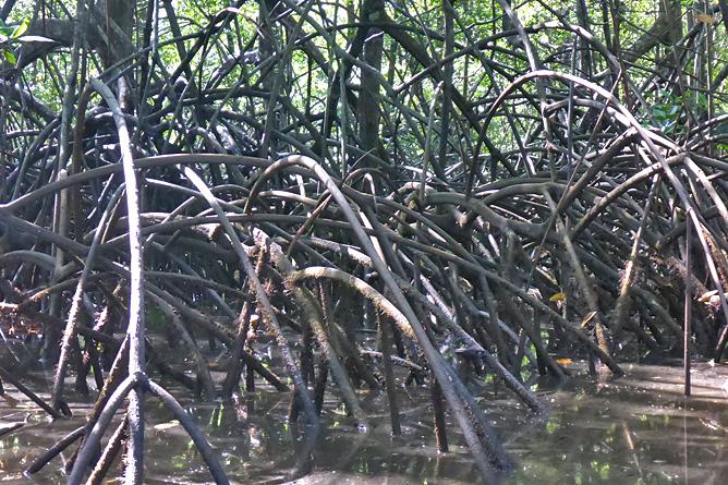 Isla Violín – Kajaktour, Mangroven