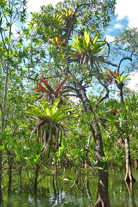Isla Violín – Mangroven