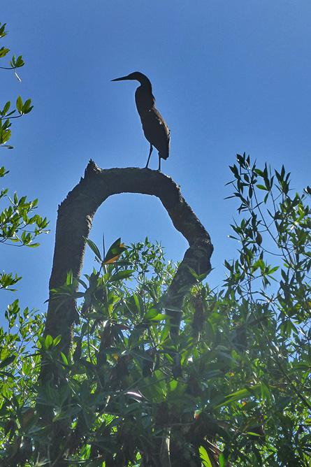 Isla Violín – Mangroven, Reiher