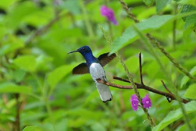 Monteverde Nebelwald – Kolibri