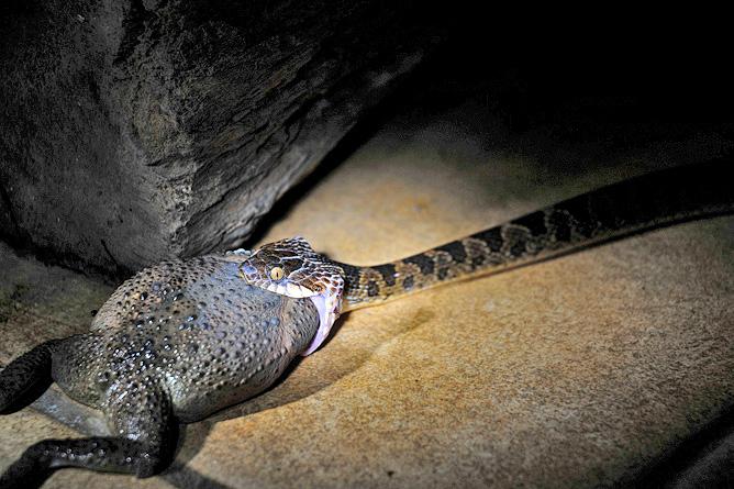 Maquenque Lodge – Nachttour, Schlange frisst Kröte