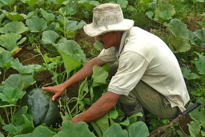 Maquenque Lodge – Organischer Anbau