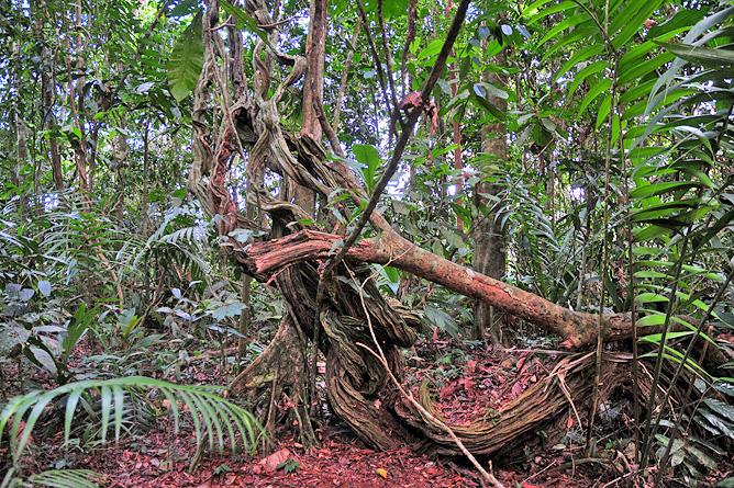 Maquenque Lodge – Regenwaldwanderung