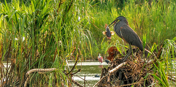 Rafiki Safari Lodge – Mangroven, Wasservögel