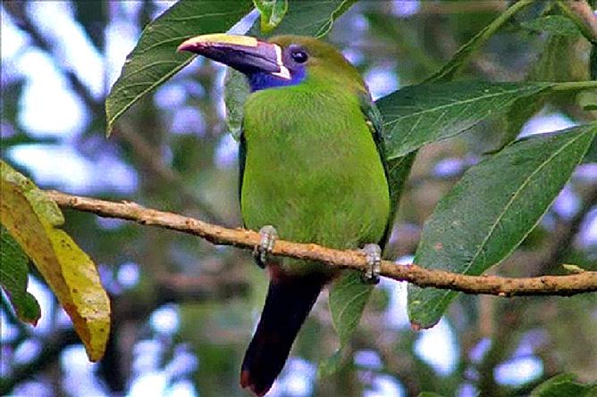 Monteverde – Motmot Vogel