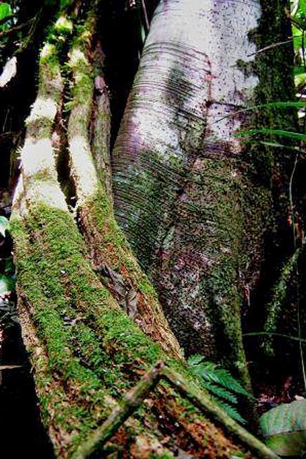 El Pelicano Bosque Oro Verde Baumriese