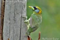 El-Pelicano_Vogelbeobachtung_Bartvogel