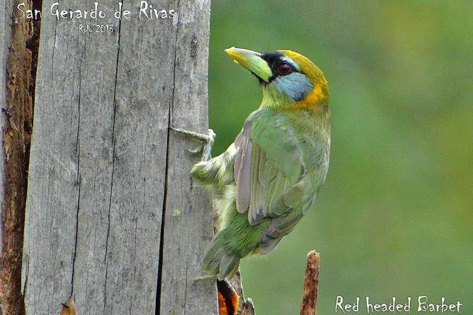 El Pelicano Vogelbeobachtung Bartvogel
