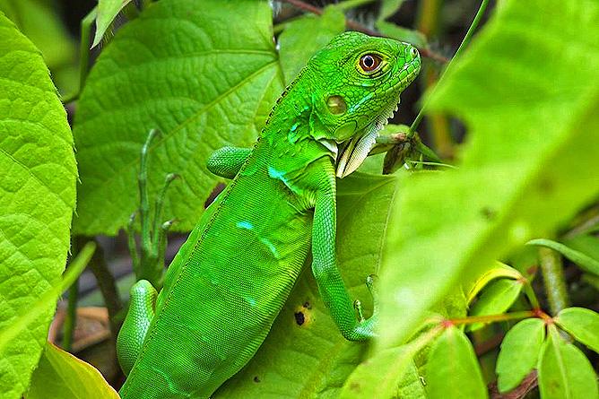 Los Campesinos Eco Lodge – grüner Basilisk, weiblich, ohne Kamm