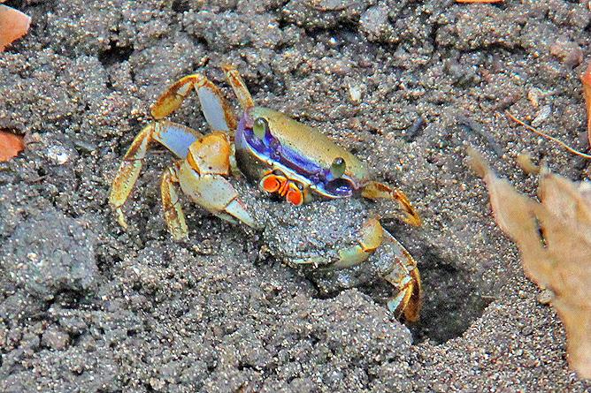 Nationalpark Cahuita – Krabbe