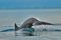 Nicuesa Wale und Delfine im Golfo Dulce