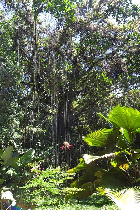 Piedras Blancas Nationalpark Baumriesen und gigantische Fächerpalmen
