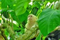 Schnorcheln-und-Wandern-im-Nationalpark-Cahuita_Kapuzineraffe_Foto-Cahuita-Tours