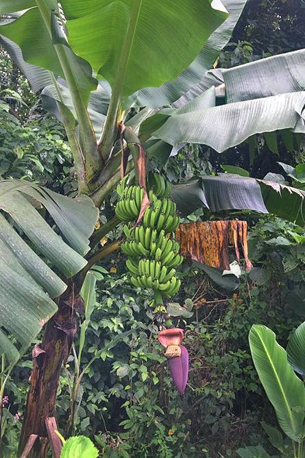 Arenal Oasis Bananenstauden