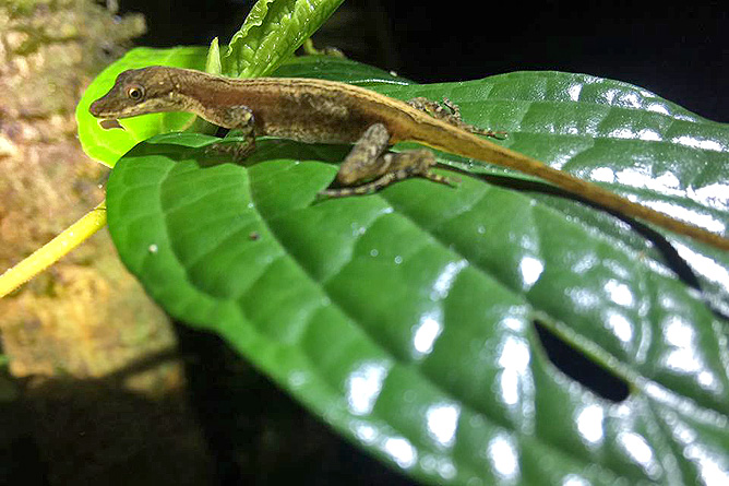 Arenal Oasis Gecko