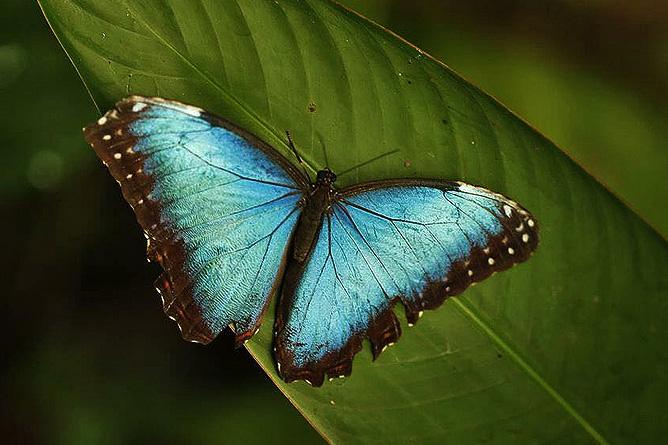 Arenal Oasis Morpho Azul Schmetterling