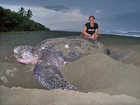 Lirio Lodge Lederschildkröte Barra Pacuare