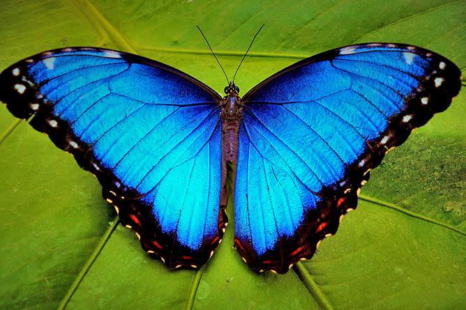 Costa Rica Schmetterling Monteverde Ocotea Tours