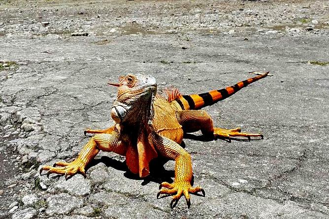 Country Inn Arenal Tierbeobachtung Leguan