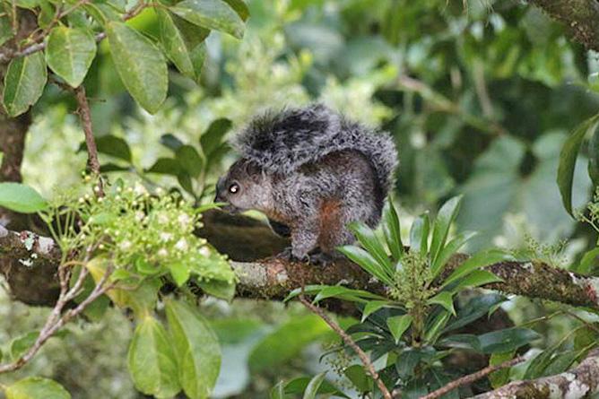 Fonda Vela schwarzes Eichhörnchen