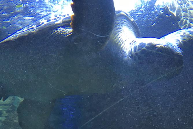 Grüne Meeresschildkröte Costa Rica