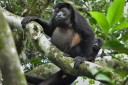 Guanacaste Naturreservat Monte Alto - Brüllaffe