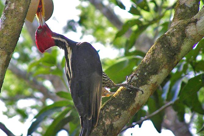 Guanacaste Naturreservat Monte Alto – Specht