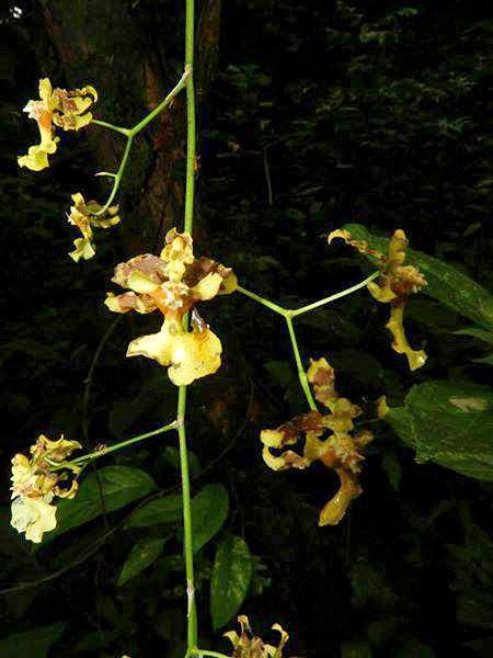 Guanacaste Naturreservat Monte Alto – Orchidee