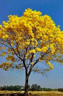 Guancaste_Lomas-Barbudal-Reservat_Guanacaste-Baum_Foto-Micha-23-09-2017