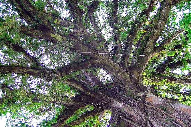 La Ceiba Kapokbaum Krone
