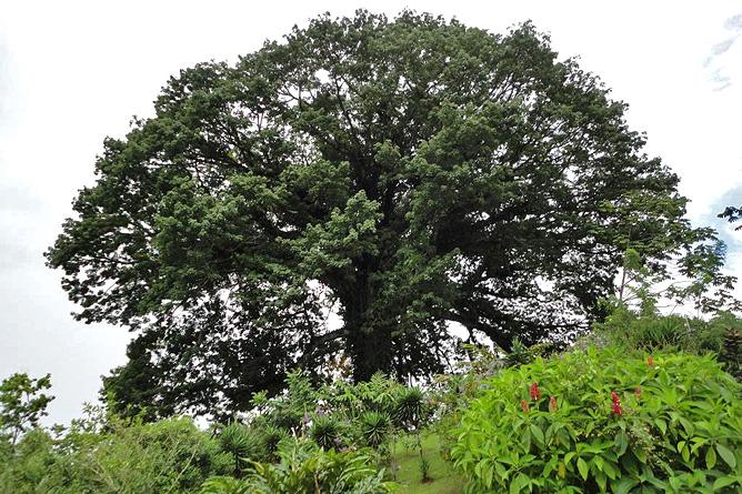 La Ceiba Kapokbaum La Ceiba-Namensgeber