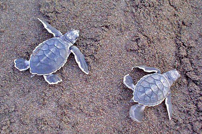 Meeresschildkröten Grüne Schildkröte Babies