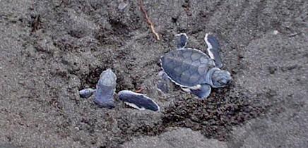 Meeresschildkröten_Grüne-Schildkröte_Babies_3_Foto-Micha-23-10-2017