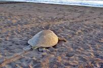 Meeresschildkröten_Grüne-Schildkröte_Erwachsene_2_Foto-Micha-23-10-2017