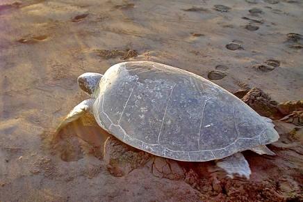 Meeresschildkröten_Grüne-Schildkröte_Erwachsene_Foto-Micha-23-10-2017