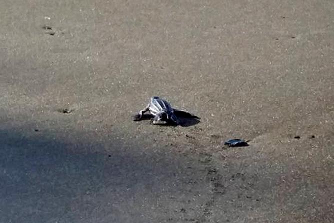 Meeresschildkröten Lederschildkröte Babies